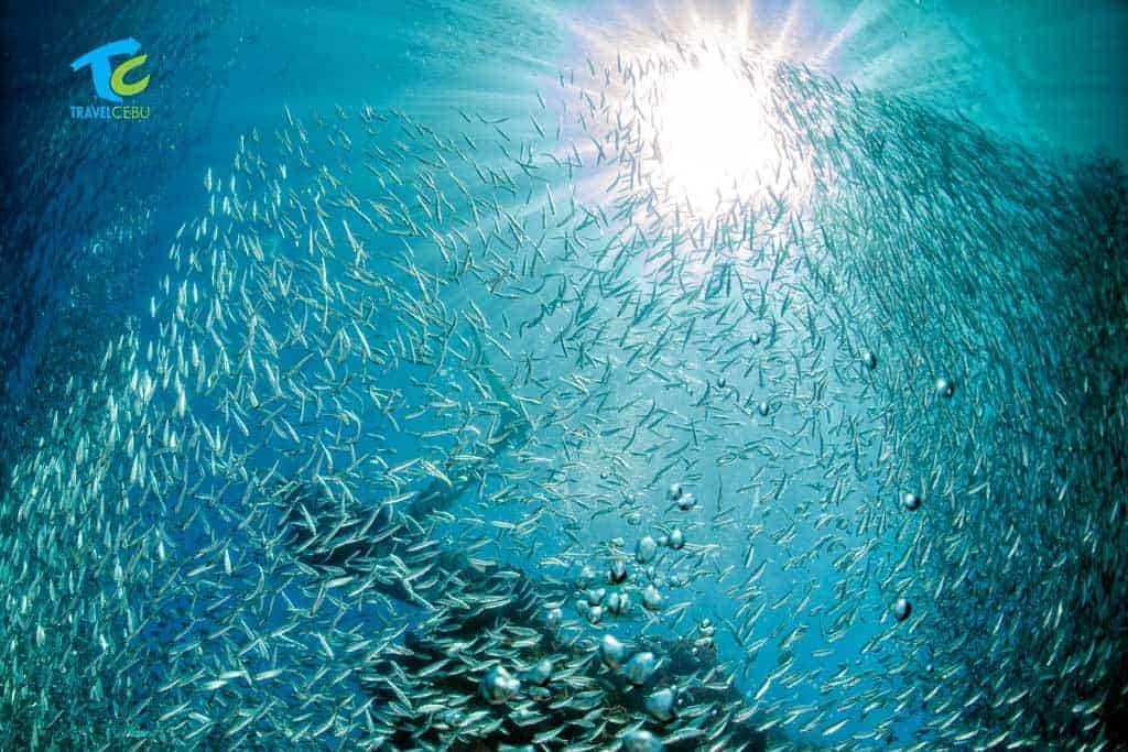 moalboal sardine run Cebu tour package