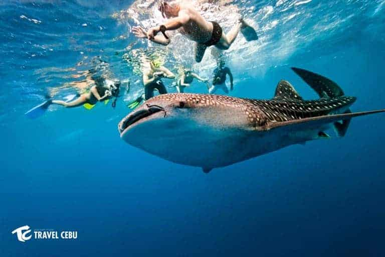 Cebu Tourist Spots whale shark