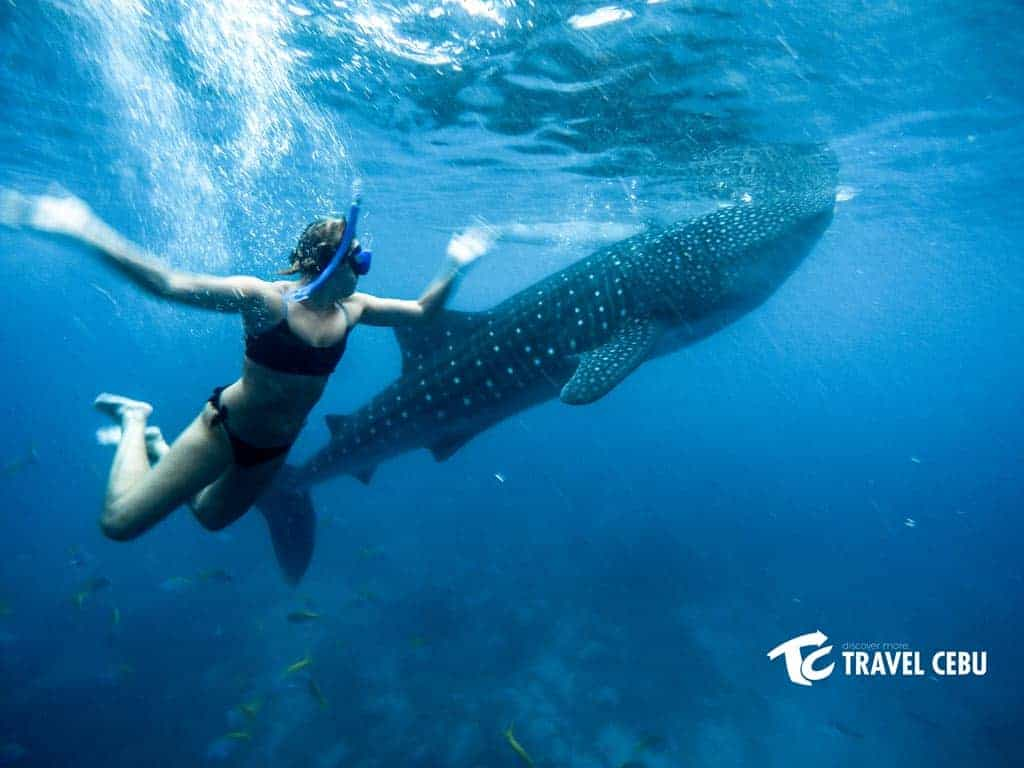 swim with the whale shark