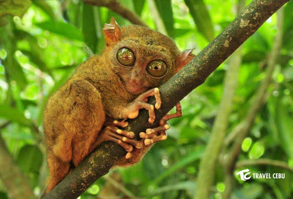 Bohol tarsier tour package